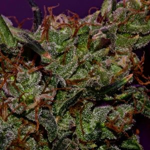 high-CBD-marijuana-strain-that-gets-you-high