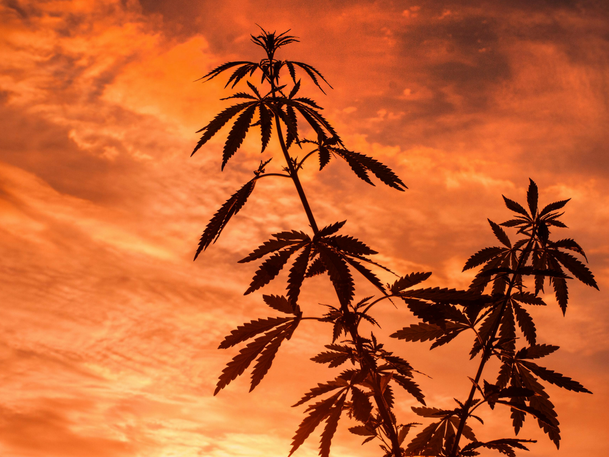 The Great Outdoors: Here's How To Get The Most Out Of Your Outdoor Cannabis Grow Season