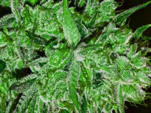 marijuana harvesting
