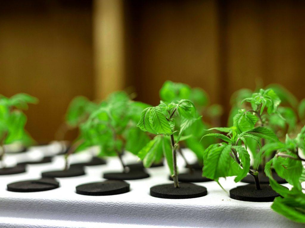 marijuana-seeds-versus-marijuana-clones