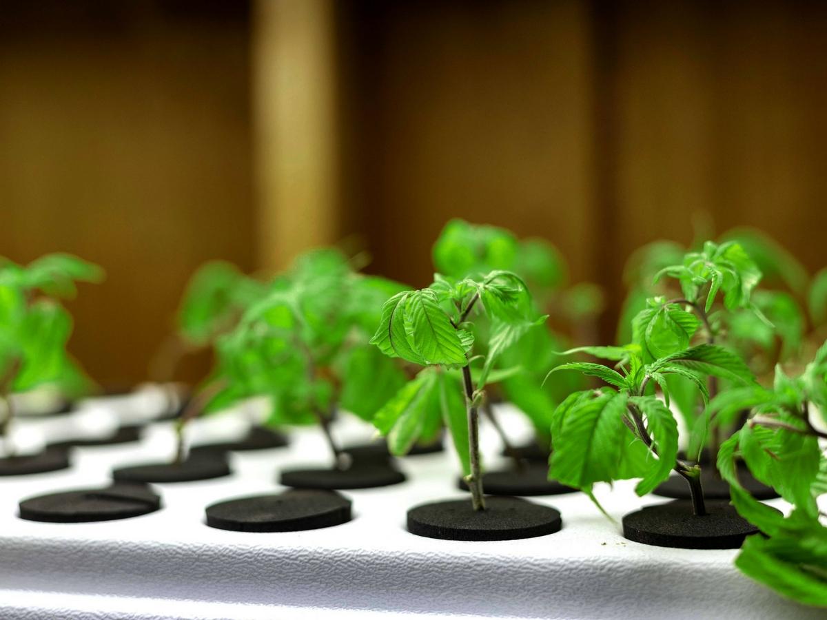 marijuana seeds vs clones