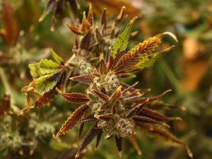 leaf surface temperature