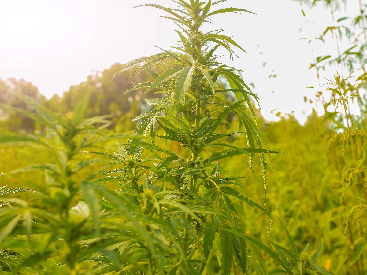canopy-growth-buys-african-cannabis-producer-daddy-cann