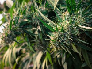 rare cannabis strains