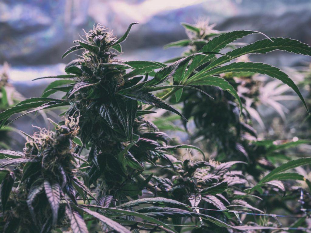 indoor-marijuana-grow-room-bedroom-garage-basement-closet