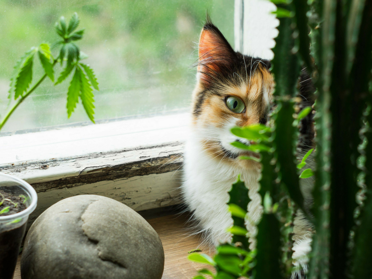 cats and cannabis