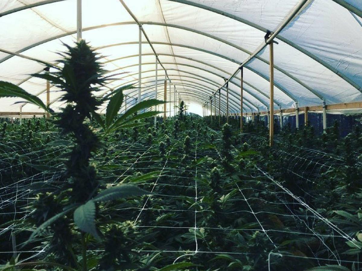 cannabis cultivars