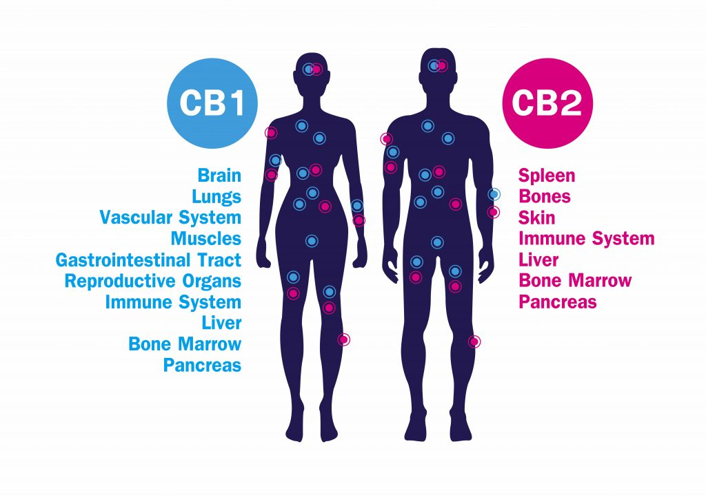 The endocannabinoid system acts as a connector between the body and mind, and has an impact on our immune system, nervous system and all the body's organs.