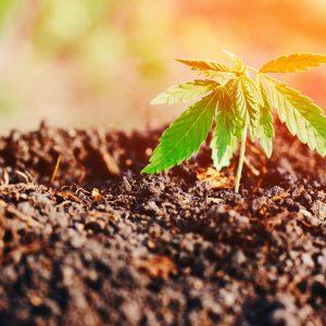 soil cannabis growing