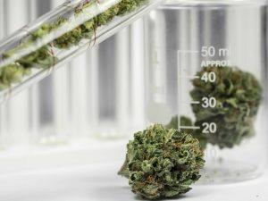 cannabis genetics
