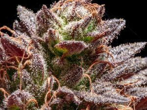 cannabis enzymes