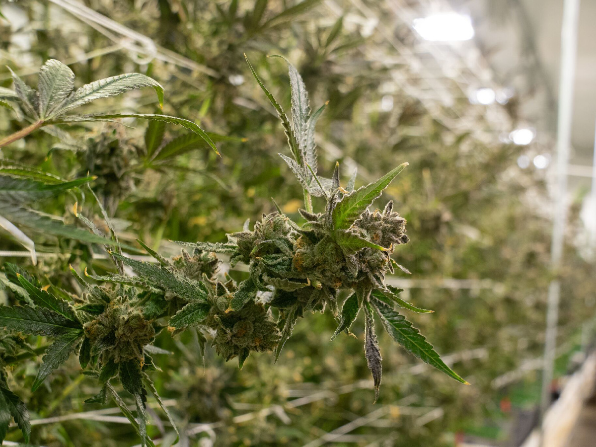 cannabis flushing