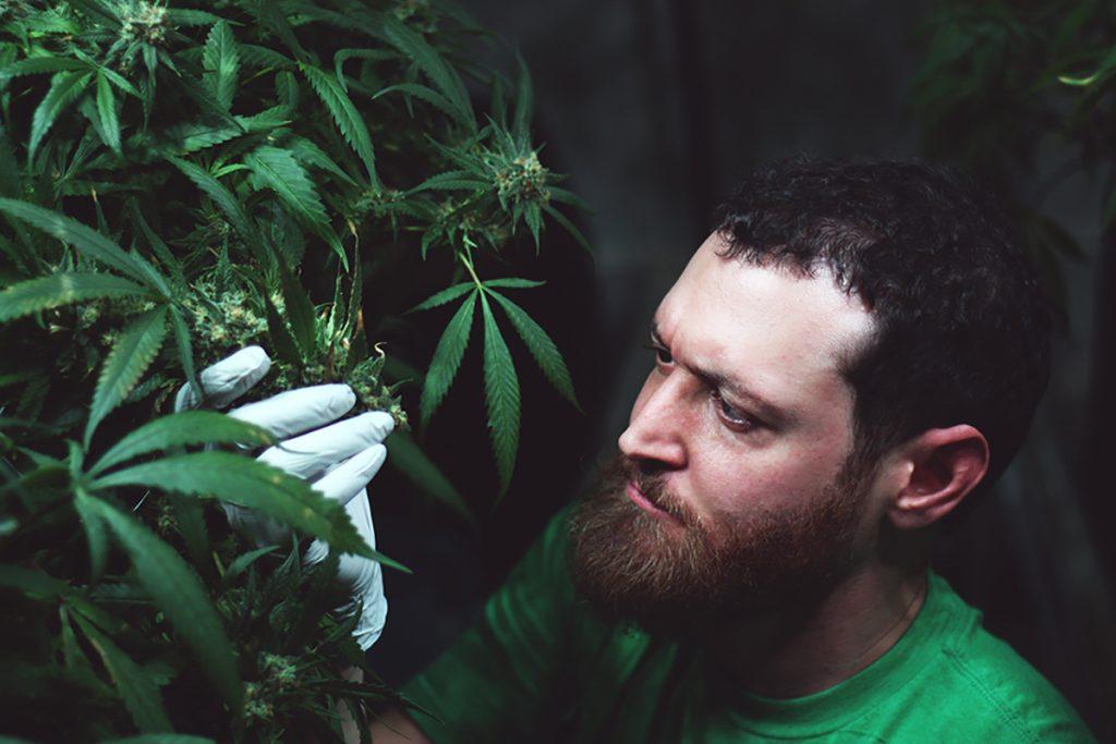 new cannabis cultivators