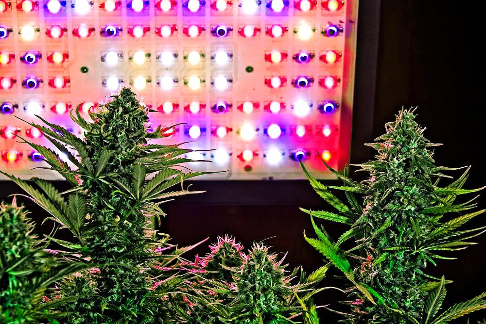 LED grow lights cannabis cultivation