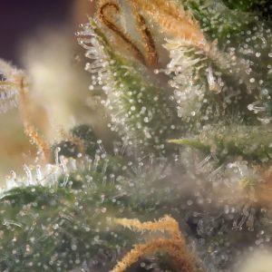 cannabis_terpenes