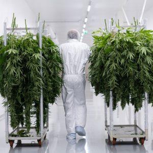Bedrocan cannabis