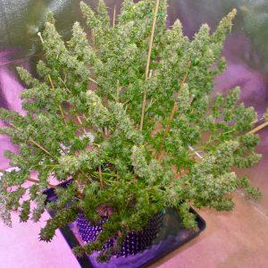 autoflowering cannabis