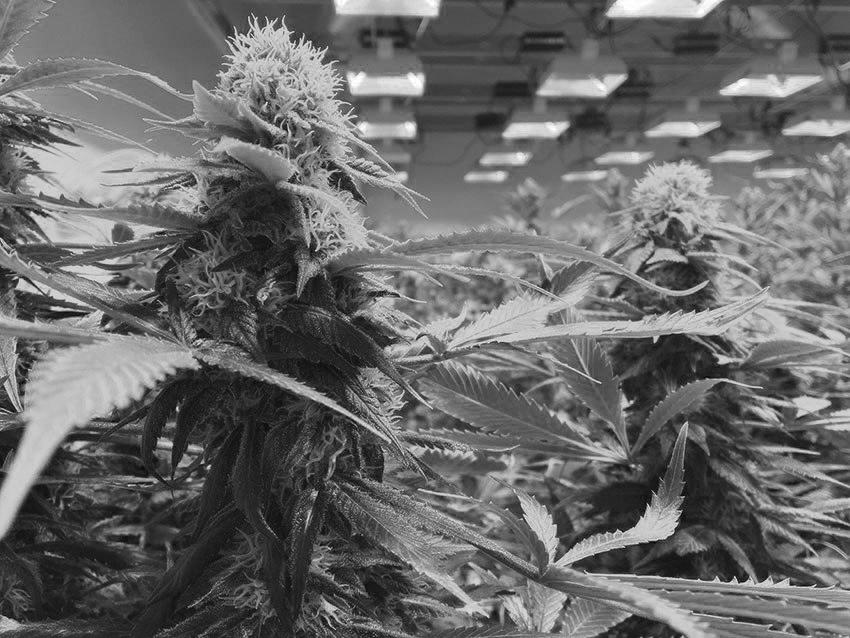 organic cannabis