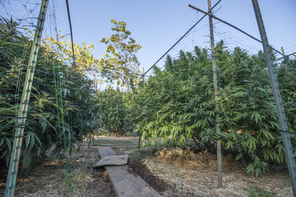 outdoor cannabis growing