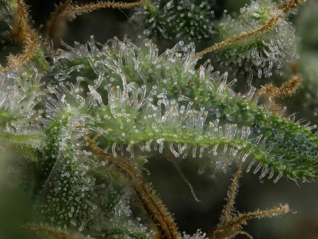 terpenes from cannabis