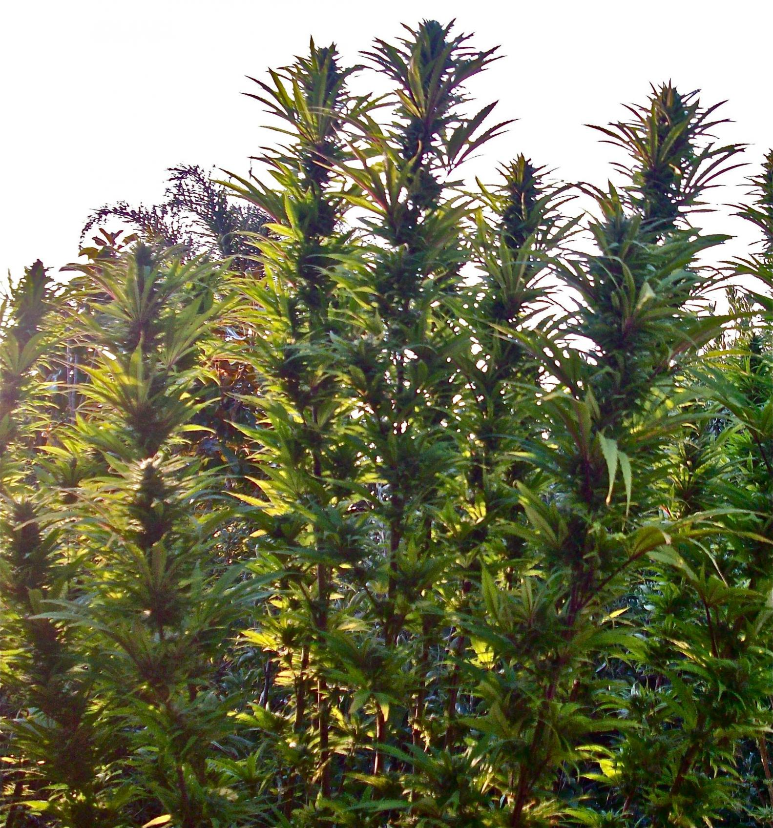 outdoor marijuana grow