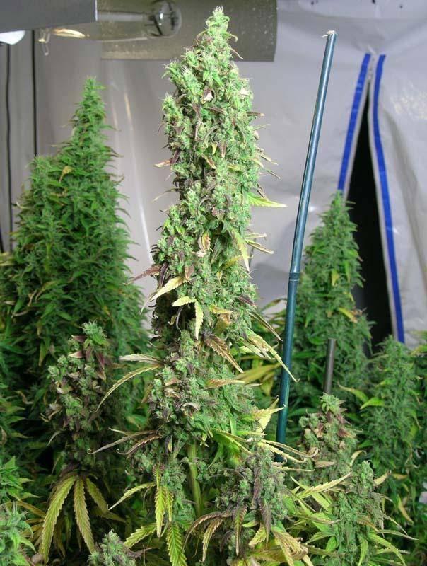 astroboy marijuana strain