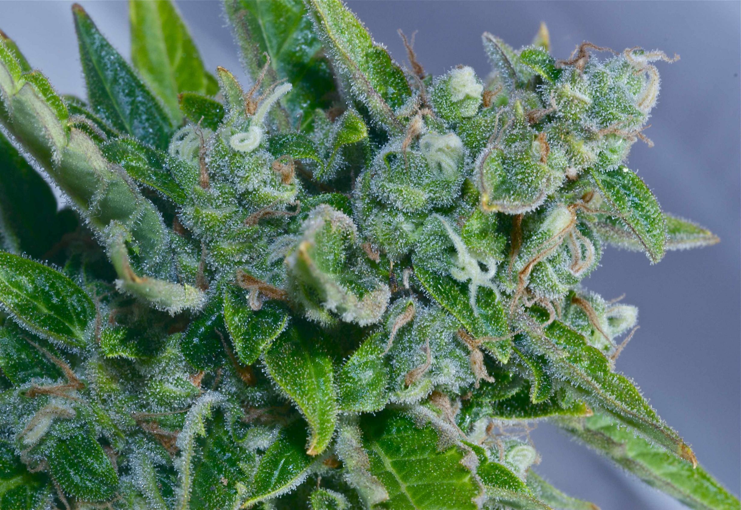 auto_flowering_marijuana