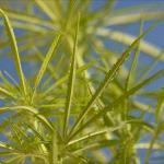 Marijuana Growers Not Welcome at Maximum Yield Indoor Gardening Expo