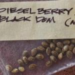 Diesel Berry marijuana seeds