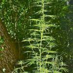 thin marijuana plant veg stage