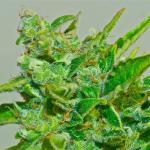 dense cannabis bud