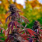 outdoor cannabis plant red leaves