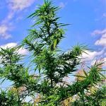 Cash Cropping, Outdoor Marijuana & A Glock