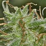 Hydroponics Marijuana System: More THC with DWC