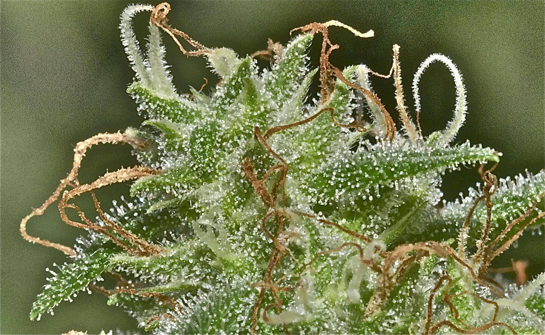 trichomes tight cannabis bud