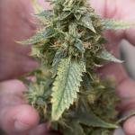 Prevent Dreaded Botrytis (Bud Rot) In Your Medical Marijuana
