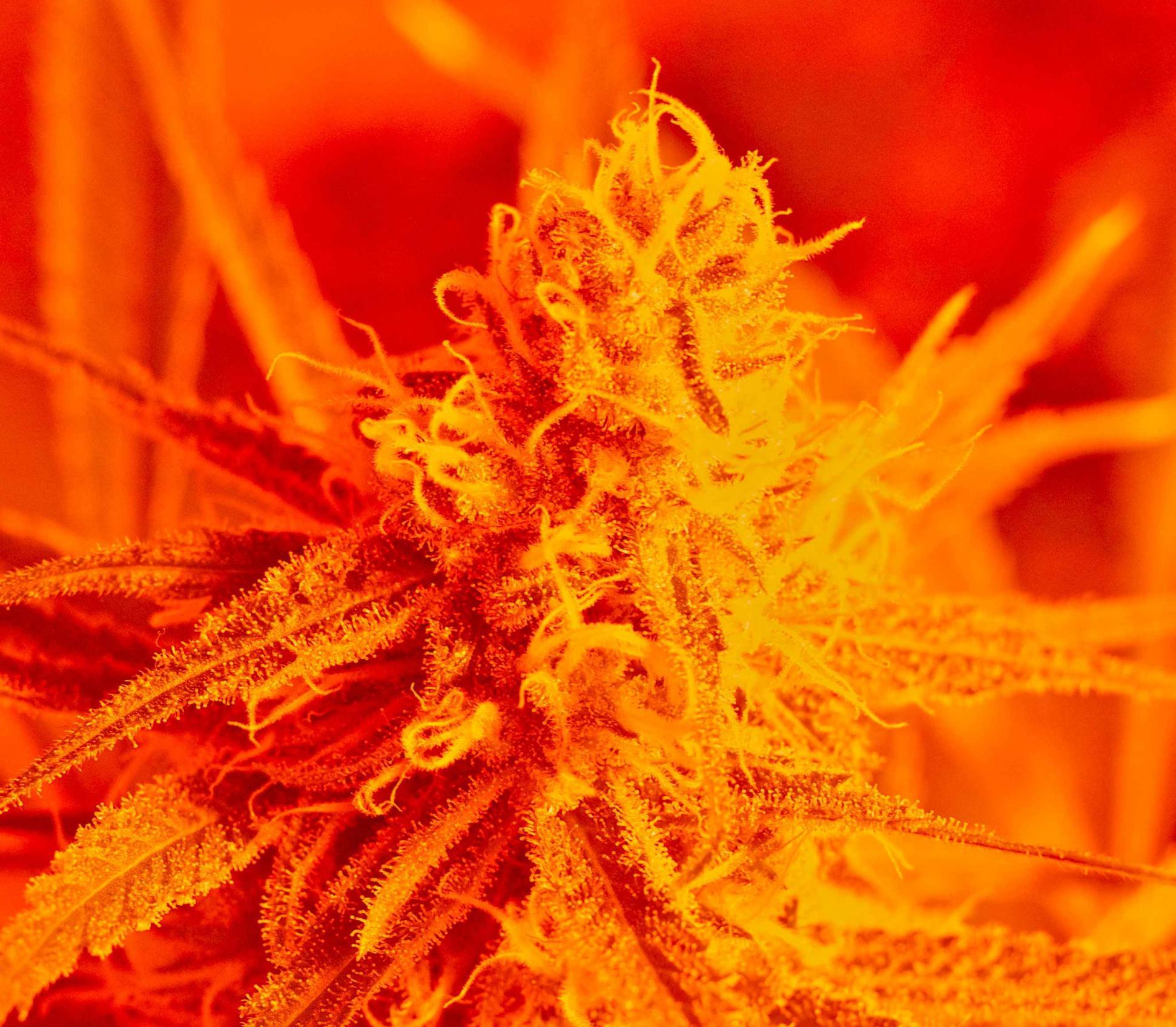 cannabis-buds-hydroponics
