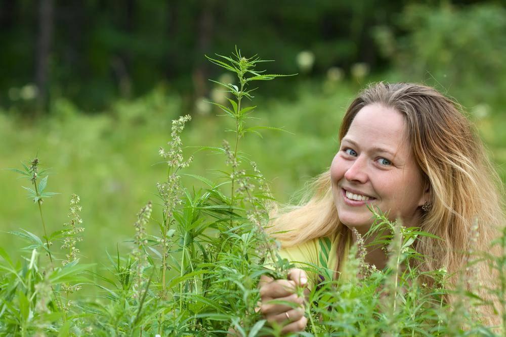 feminized marijuana