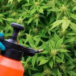 Improve You Medical Marijuana Crop With A Foliar Nutrient Feeding