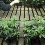 Controlling pH Levels In Your Hydroponic Marijuana Grow System