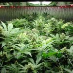 Inda-Gro Induction Lighting — Expert Test (Week Five of Flowering)