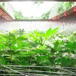 Expert Test — Inda-Gro Induction/LED Lighting (Flowering Week One)