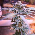 marijjuana flushing