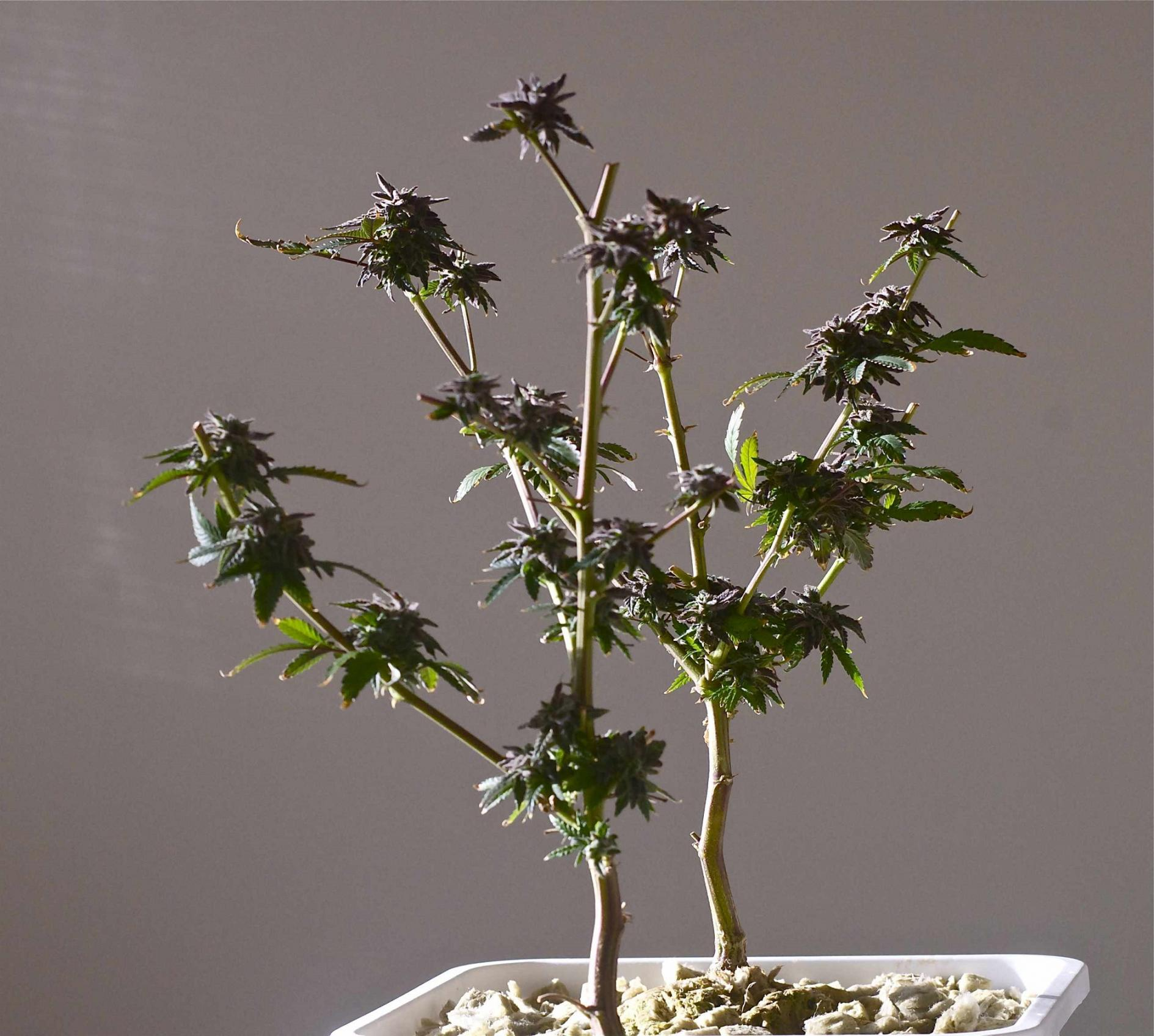 marijuana_hydroponics_1