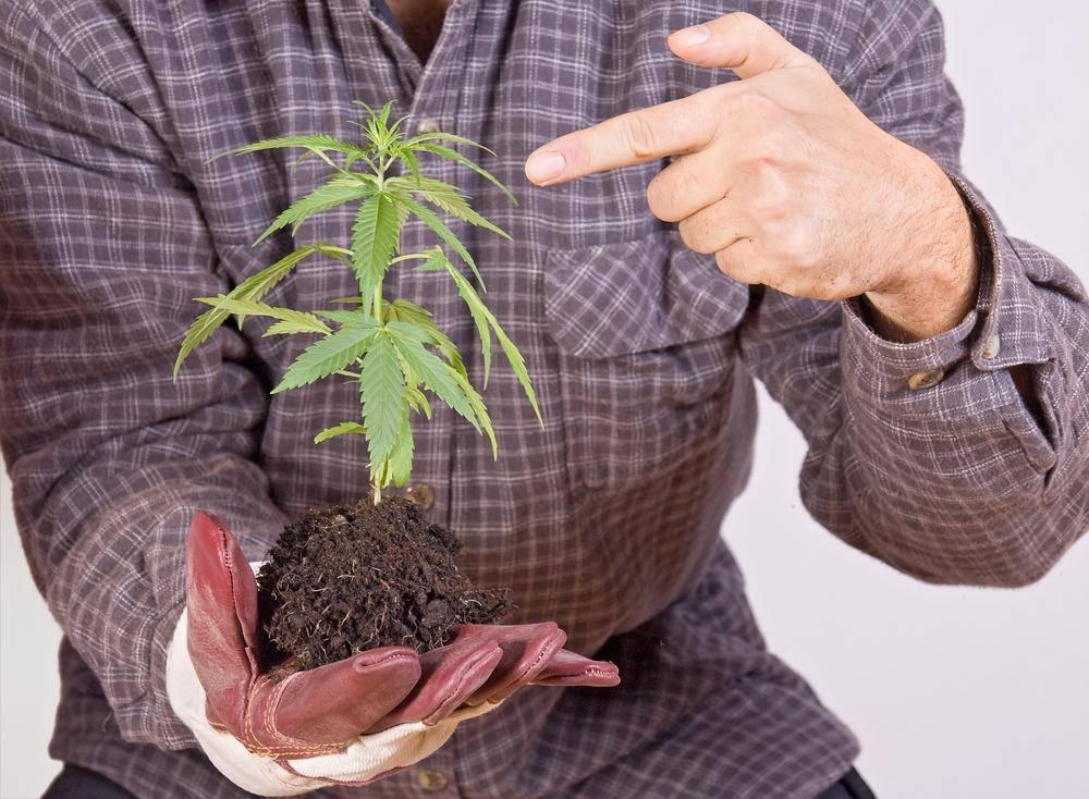 medical-marijuana-in-soil