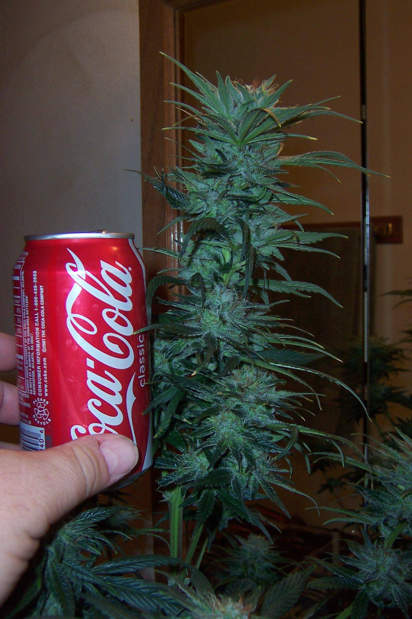 marijuana and coca cola