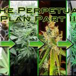 Keep Your Own Medical Marijuana Perpetual Harvest Cycle Going
