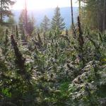 Brown Dirt Warrior Continues His Lesson in Outdoor Marijuana Mastery