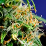 Dabbing May Cost Marijuana Its Mellow Reputation