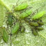 Protect You Marijuana Plants From Pests With Tree Tanglefoot Insect Barrier